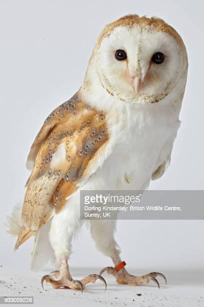 Barn owl (Tyto alba) in studio
