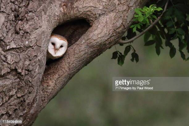 barn owl in tree - barn owl stock pictures, royalty-free photos & images