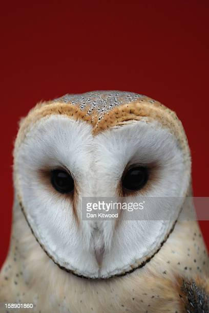 Barn Owl is held during London Zoo's annual stocktake of animals on January 3 2013 in London England The zoo's stocktake takes place annually and...