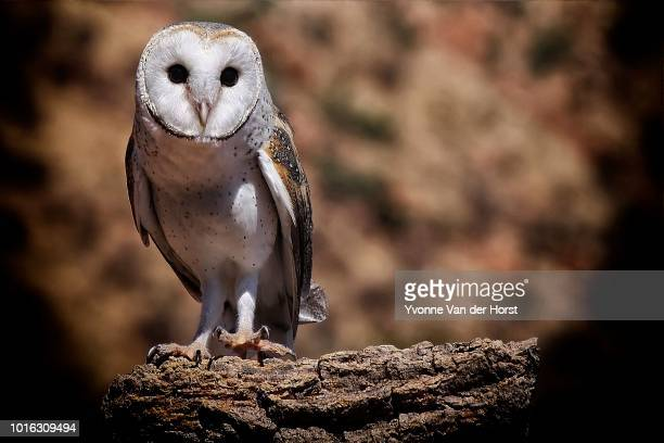 barn owl landing - barn owl stock photos and pictures