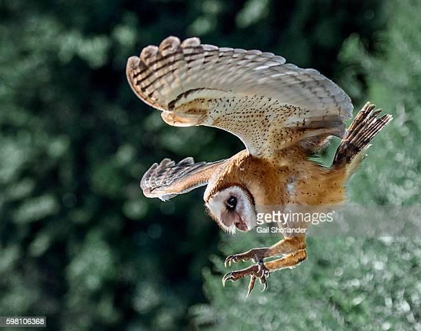 barn owl landing - tiere bei der jagd stock-fotos und bilder