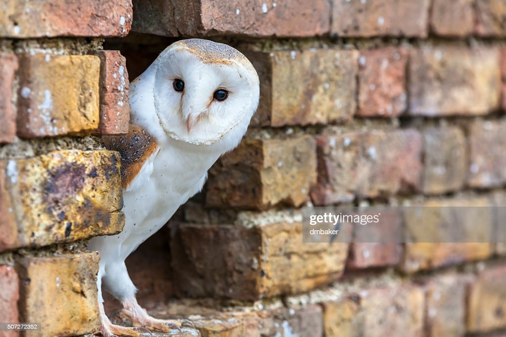 Barn Owl Looking Out of a Hole in a Wall : Stock Photo