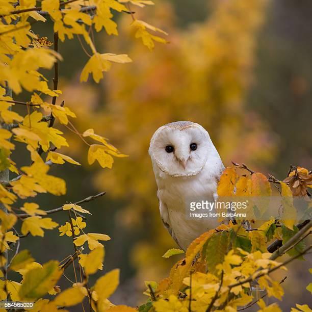 barn owl perched amongst autumn leaves - barn owl stock pictures, royalty-free photos & images