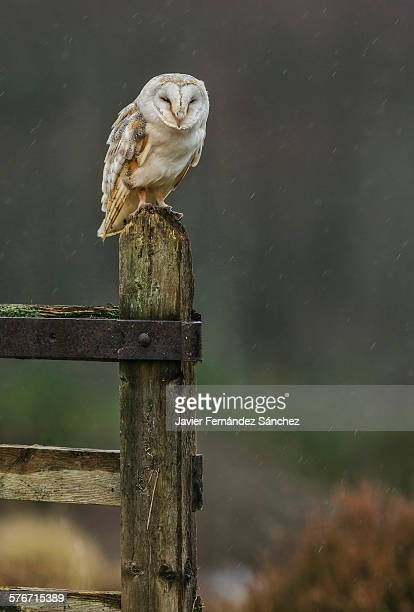 barn owl perched on a fence of a farm. - barn owl stock pictures, royalty-free photos & images