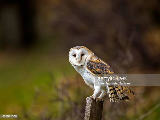 A barn owl perched on a fence. Tyto alba.