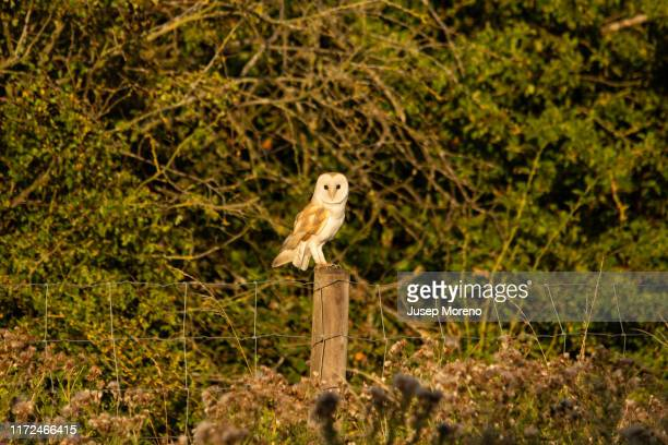 barn owl (tyto alba) perched on a post in a farm - barn owl stock pictures, royalty-free photos & images