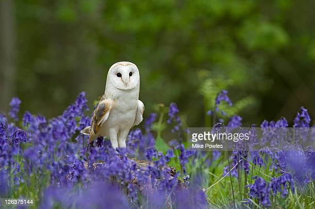 barn owl (tyto alba) perched on tree stump among bluebells (hyacinthoides non scripta), norfolk, uk - barn owl stock pictures, royalty-free photos & images
