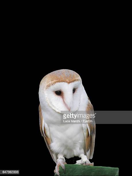 Barn Owl Perching On Wood Over Black Background