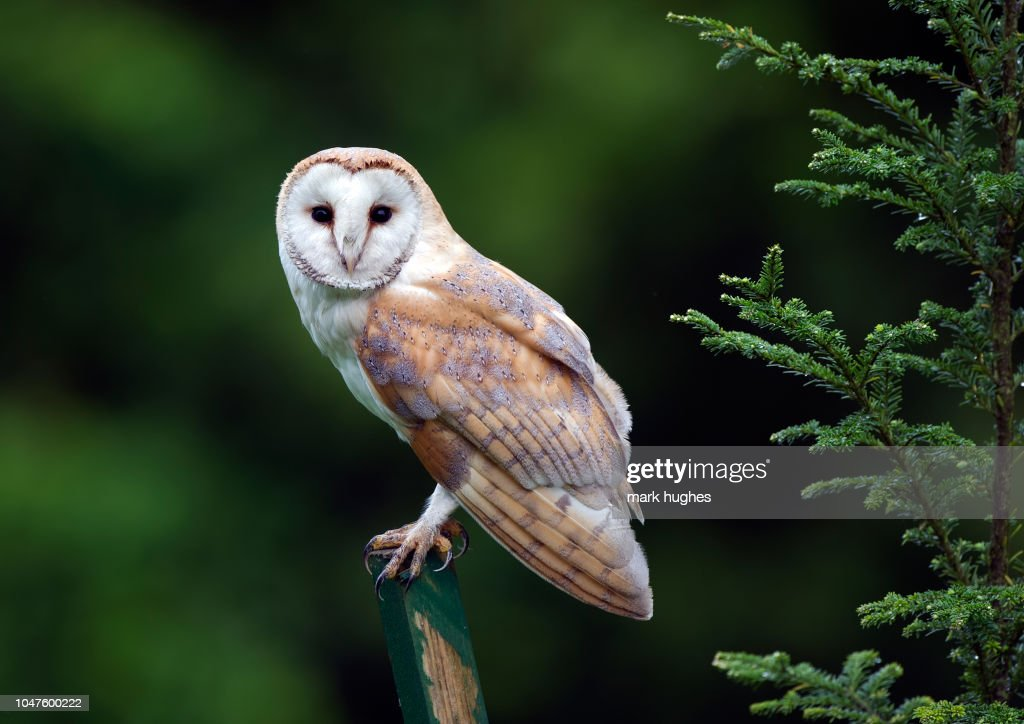 barn owl : Stock Photo