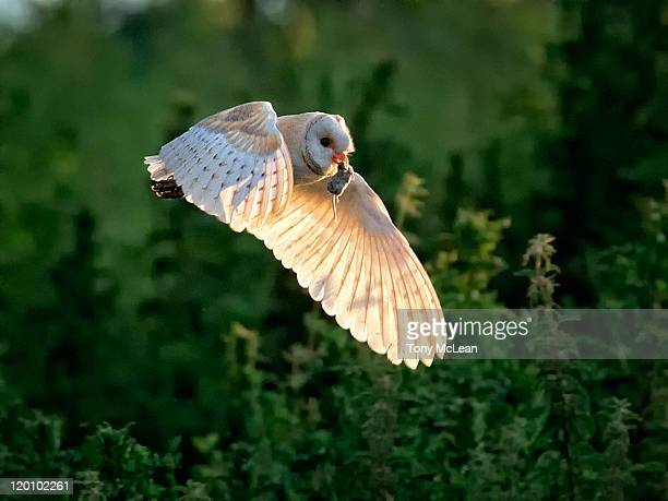 barn owl - barn owl stock photos and pictures