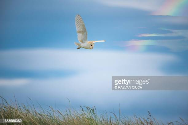 barn owl - animal behaviour stock pictures, royalty-free photos & images