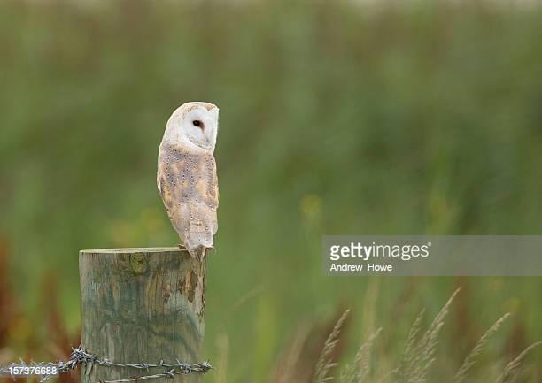 Lechuza blanca (Tyto alba)