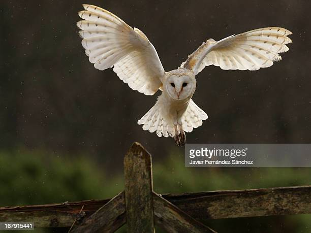 barn owl - animal wing stock pictures, royalty-free photos & images