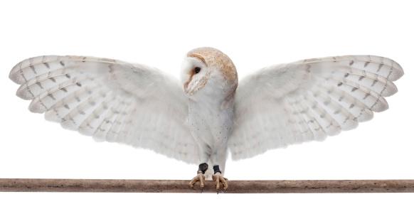 Barn owl 169940966