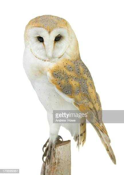 barn owl (tyto alba) - barn owl stock pictures, royalty-free photos & images