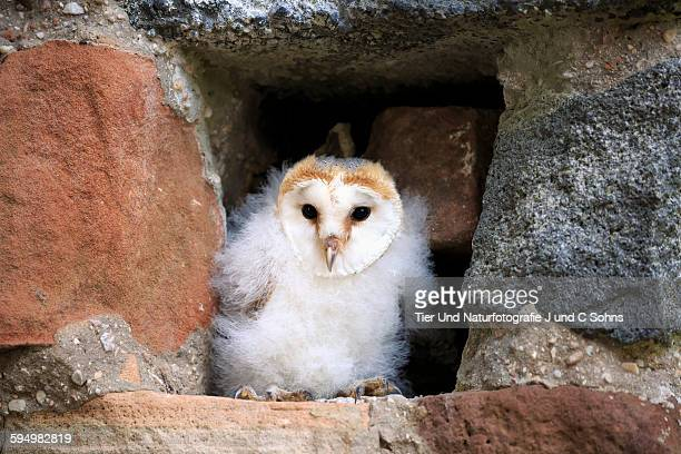 barn owl, (tyto alba) - barn owl stock pictures, royalty-free photos & images