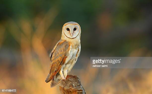 barn owl - markhor stock photos and pictures