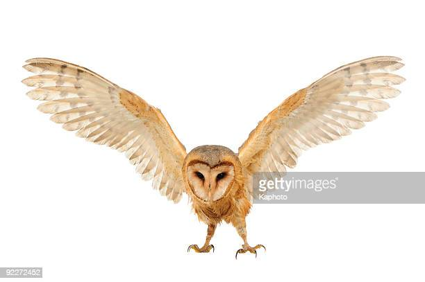 barn owl - barn owl stock pictures, royalty-free photos & images