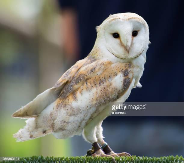 barn owl (captive) - barn owl stock photos and pictures