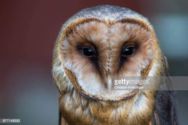 barn owl (tyto alba) portrait - barn owl stock pictures, royalty-free photos & images
