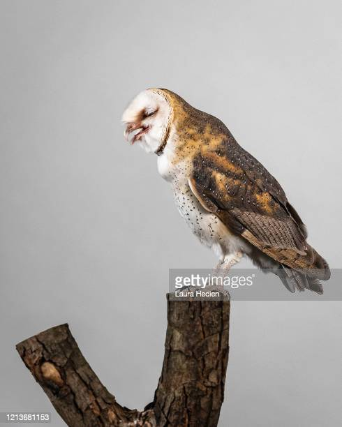 a barn owl posing - perching stock pictures, royalty-free photos & images