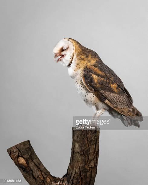 a barn owl posing - 止まる ストックフォトと画像