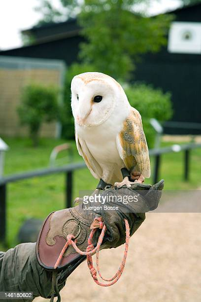 A barn owl sitting on falconer`s glove