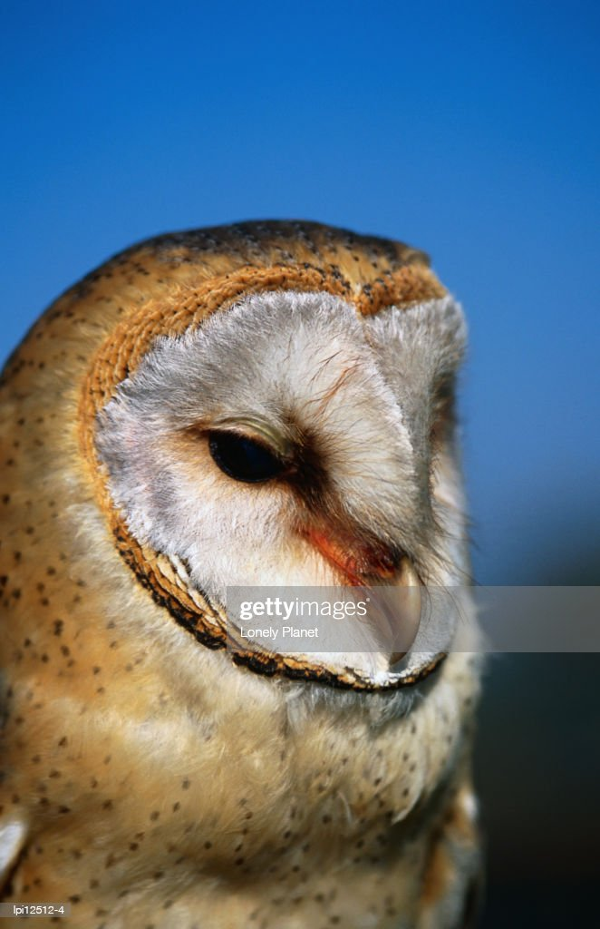 Barn Owl South Africaafrica Stock Photo - Getty Images