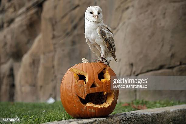 TOPSHOT A barn owl stands on a jackolantern carved from a pumpkin and used to symbolise Halloween or All Saints' Eve at the Zoom Torino zoo and...
