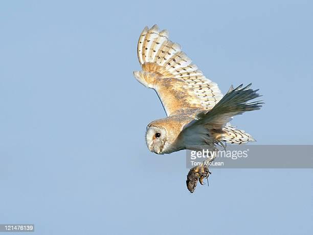 Barn owl success