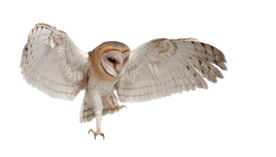 Barn Owl, Tyto alba, 4 months old, flying 510697310