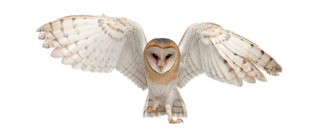 Barn Owl, Tyto alba, 4 months old, portrait flying 510697380