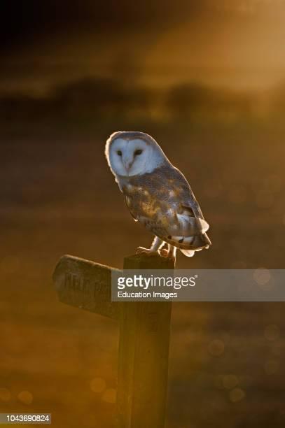 Barn Owl Tyto alba Cley Norfolk winter