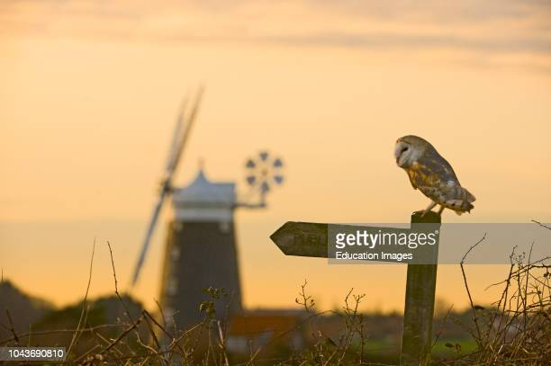 Barn Owl, Tyto alba, Cley North Norfolk winter.
