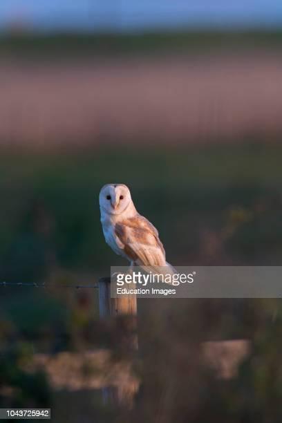 Barn Owl Tyto alba Cley NWT Reserve Norfolk
