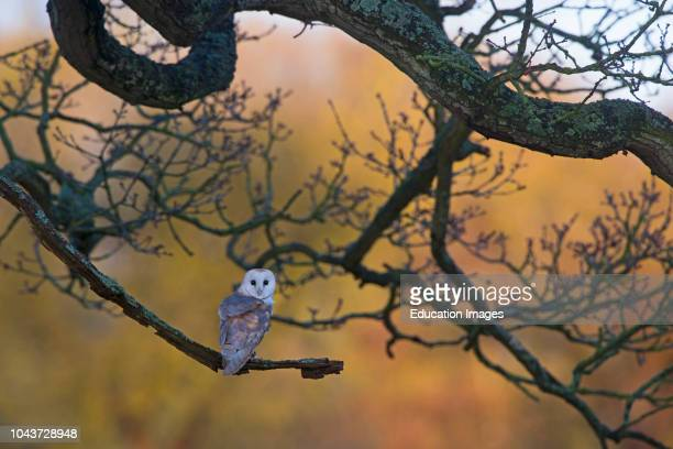 Barn Owl Tyto alba female hunting from tree on edge of meadow North Norfolk