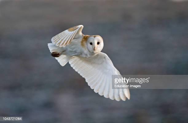 Barn Owl Tyto alba female hunting over grazing marsh at Burnham Overy Norfolk February