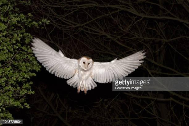 Barn Owl Tyto alba hunting at night North Norfolk
