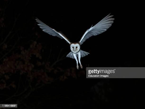 Barn Owl Tyto alba hunting in the wild North Norfolk