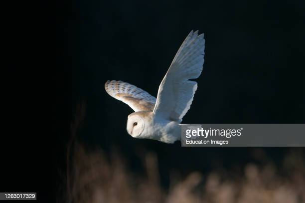 Barn Owl tyto alba hunting North Norfolk UK