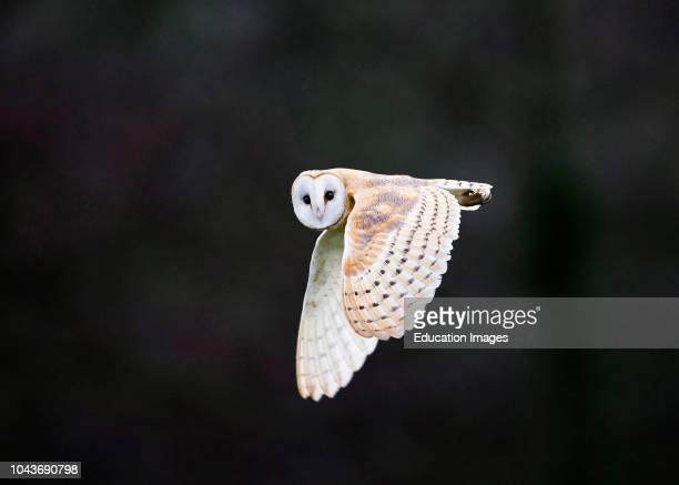 Barn Owl Tyto alba hunting over meadow North Norfolk winter