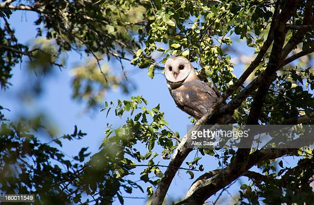 a barn owl, tyto alba, in a tree. - alex saberi 個照片及圖片檔