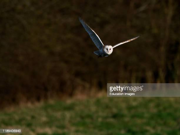 Barn Owl Tyto alba in flight North Norfolk UK
