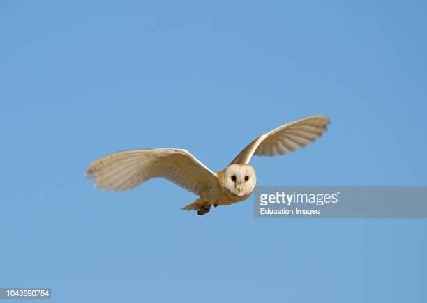 Barn Owl Tyto alba Norfolk July