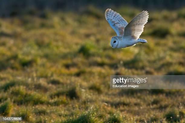 Barn Owl Tyto alba Norfolk spring