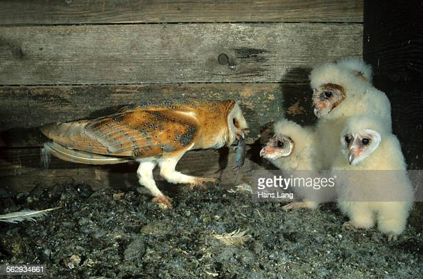 barn owl -tyto alba- passing a mouse to a young bird - barn owl stock pictures, royalty-free photos & images