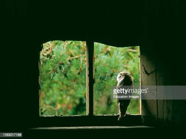 Barn Owl Tyto alba peering from nest site in derelict barn UK summer