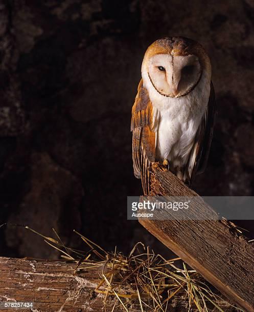 Barn owl Tyto alba perched in a barn nighttime France