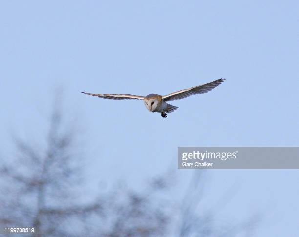 barn owl [tyto alba] - barn owl stock pictures, royalty-free photos & images