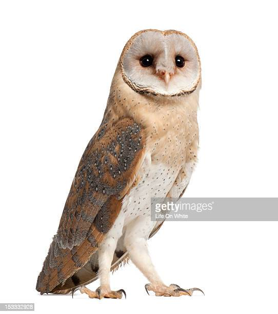 Barn Owl - Tyto alba (4 months old)